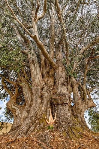 blue gum giant nature photo by photographer treegirl