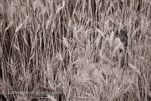 grains Nature Artwork by Photographer humon photography