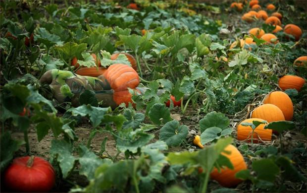 pumpkin Nature Photo by Photographer Laila Pregizer