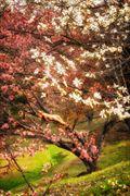 sakura s dream artistic nude photo by photographer treegirl