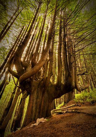 shady dell candelabra redwood dream nature photo by photographer treegirl