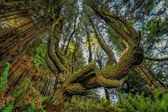 shady dell doug fir dragon i nature photo by photographer treegirl
